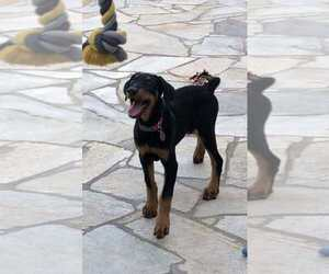 Doberman Pinscher Puppy for sale in ARLETA, CA, USA