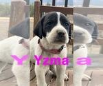 Puppy 3 Great Pyredane