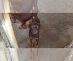 Small #89 Rottweiler
