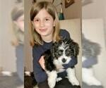 Puppy 3 Miniature Bernedoodle