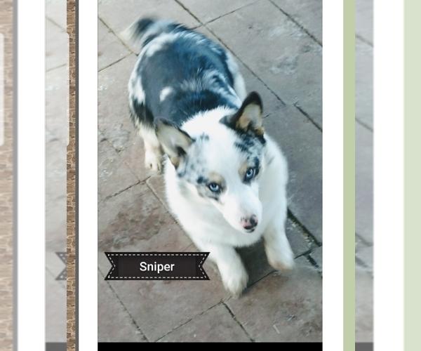 Medium Photo #1 Pembroke Welsh Corgi Puppy For Sale in MILTON, WI, USA
