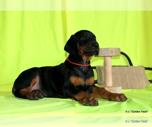 Doberman Pinscher Puppy for sale in Ivano-Frankivsk, Ivano-Frankivsk, Ukraine