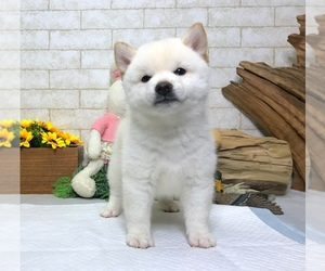 Shiba Inu Puppy for sale in REDWOOD CITY, CA, USA