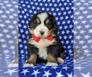 Bernese Mountain Dog Puppy for sale in DELTA, PA, USA