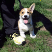 Pembroke Welsh Corgi Puppy For Sale in CASPER, WY,