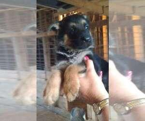 German Shepherd Dog Dog for Adoption in COLUMBUS, Nebraska USA