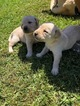 Labrador puppies AKC