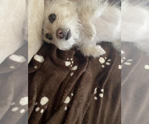 Maltipom Puppy for sale in SAN BRUNO, CA, USA