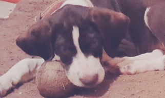 Labrador Retriever-Wirehaired Pointing Griffon Mix Puppy For Sale in MOUNT PLEASANT, TN, USA
