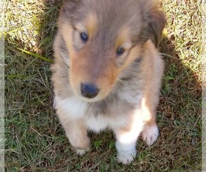 Collie Puppy for sale in WEST LIBERTY, KY, USA