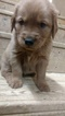 Golden Retriever Puppy For Sale in HENRYVILLE, IN, USA
