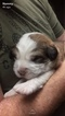 Great Bernese Puppy For Sale in BAINBRIDGE, IN, USA