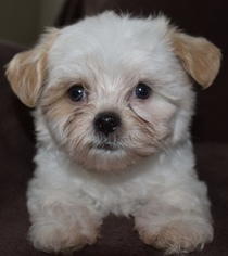 Mal-Shi Puppy For Sale in PLANO, TX