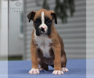 Boxer Puppy for sale in NEW HOLLAND, PA, USA
