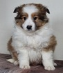Collie Puppy For Sale in WARSAW, IN, USA
