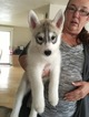 Siberian Husky Puppy For Sale in HAMPTON, NH