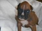 Boxer Puppy For Sale in EATON, CO
