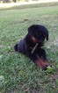 Rottweiler Puppy For Sale in SCOTLAND NECK, NC, USA