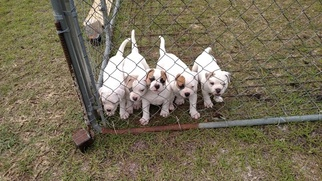 Beautiful Male NKC American Bulldog Puppies