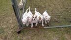 Beautiful Male NKC American Bulldog Puppies