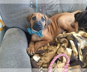 Rhodesian Ridgeback Puppy for Sale in LEANDER, Texas USA