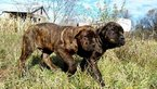 Cane Corso Puppy For Sale in MAZOMANIE, WI,