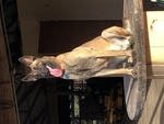 Belgian Malinois Puppy For Sale in MARBLE FALLS, TX, USA