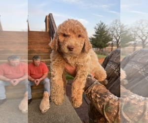 Labradoodle Puppy for Sale in NICHOLASVILLE, Kentucky USA