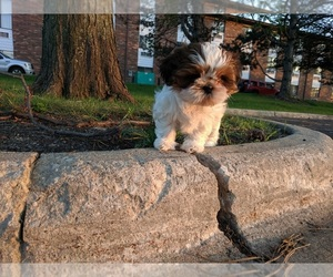Shih Tzu Puppy for sale in LITTLE FALLS, MN, USA