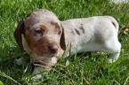 Dachshund Puppy For Sale in GALT, CA,