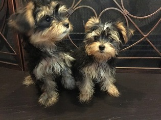 Morkie Puppy For Sale in CORNELIUS, NC, USA