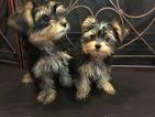 Morkie Puppy For Sale in CORNELIUS, NC, USA