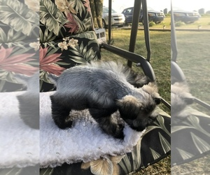 Schnauzer (Miniature) Puppy for Sale in MICHIGANTOWN, Indiana USA