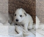 Small #80 Great Pyrenees