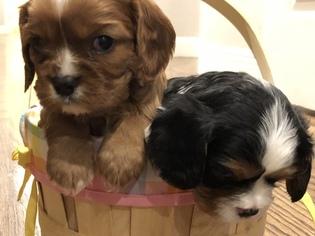 Cavalier King Charles Spaniel Puppy For Sale in AUBURN, CA, USA