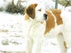 Saint Bernard Puppy For Sale in YPSILANTI, MI, USA