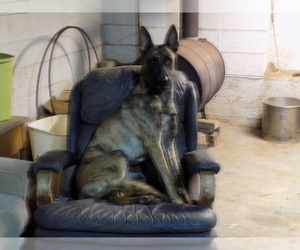 Dutch Shepherd Dog Puppy for Sale in YORK SPRINGS, Pennsylvania USA