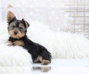 Yorkshire Terrier Puppy for Sale in MARIETTA, Georgia USA