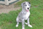 Great Dane Puppy For Sale in MILLERSBURG, IN, USA