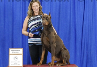 Beautiful AKC registered large Doberman puppies