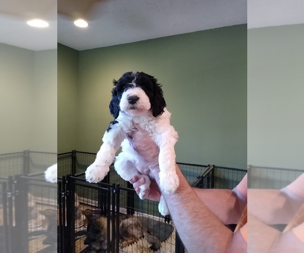 Medium Photo #2 Poodle (Standard) Puppy For Sale in CAROLINA FOREST, SC, USA