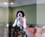 Small Photo #2 Poodle (Standard) Puppy For Sale in CAROLINA FOREST, SC, USA