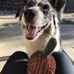 Alaskan Husky-Australian Shepherd Mix Puppy For Sale in PRESCOTT VALLEY, AZ,