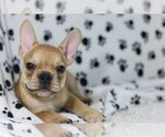 Small Photo #2 French Bulldog Puppy For Sale in WASHINGTON, DC, USA