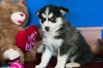 Pomsky Puppy For Sale in KENSINGTON, OH, USA