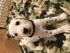 Dalmatian Puppy For Sale in PIEDMONT, SC, USA