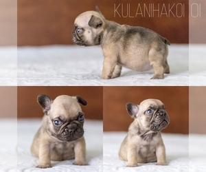 French Bulldog Puppy for Sale in PACIFIC BEACH, California USA