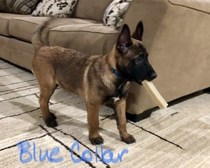 Belgian Malinois Puppy For Sale in LINDALE, TX, USA