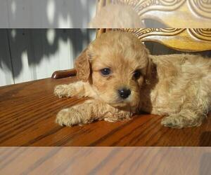 Cavapoo Puppy for sale in JACKSON, MI, USA