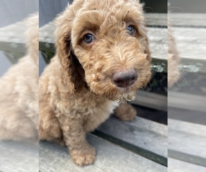 Goldendoodle Puppy for sale in DUNMORE, PA, USA